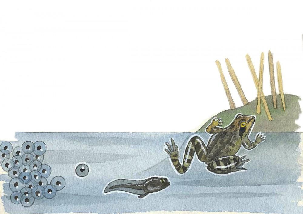 sammakon elämä yhdellä paperilla_web