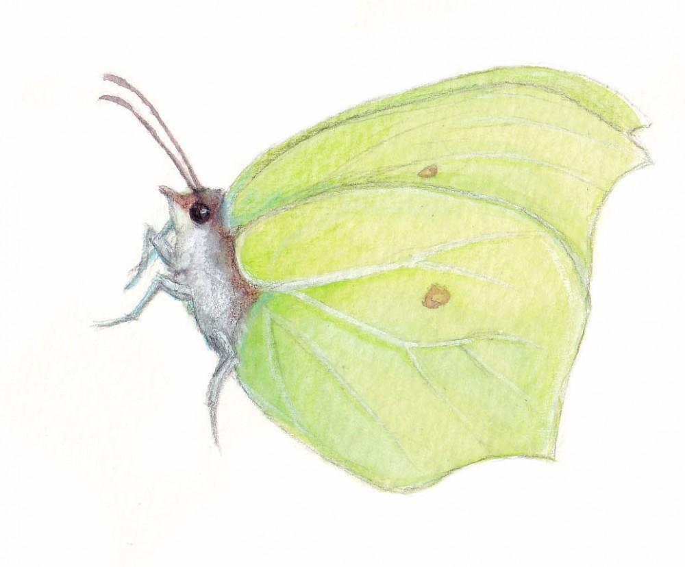 sitruunaperhonen